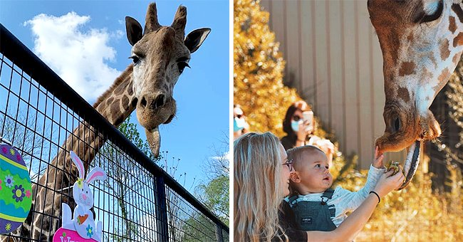 Two Giraffes from Virginia Zoo Died Following a Fire — Check Out the Details Here