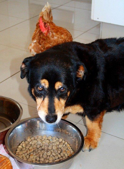 Un chien triste avec un poulet qui ne veut pas mangé | photo : Pixabay