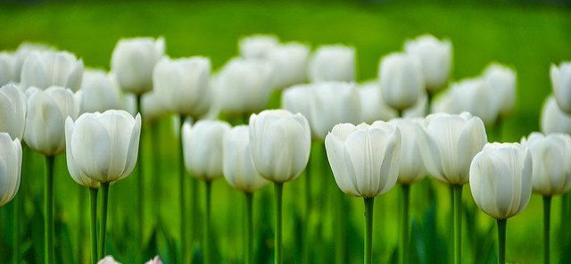 Des tulipes blanches. l Source: Flickr