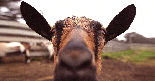 Daily Joke: Little Boy Tells His Parents' Guests They're Having a Goat for Dinner