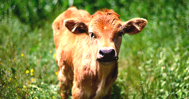Daily Joke: A Man Was Driving past a Farm When He Hit a Calf That Was Crossing the Road