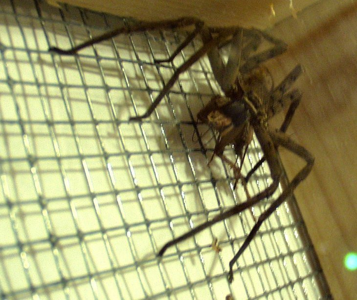 A huntsman spider eating a cricket. | Photo: Wikimedia Commons