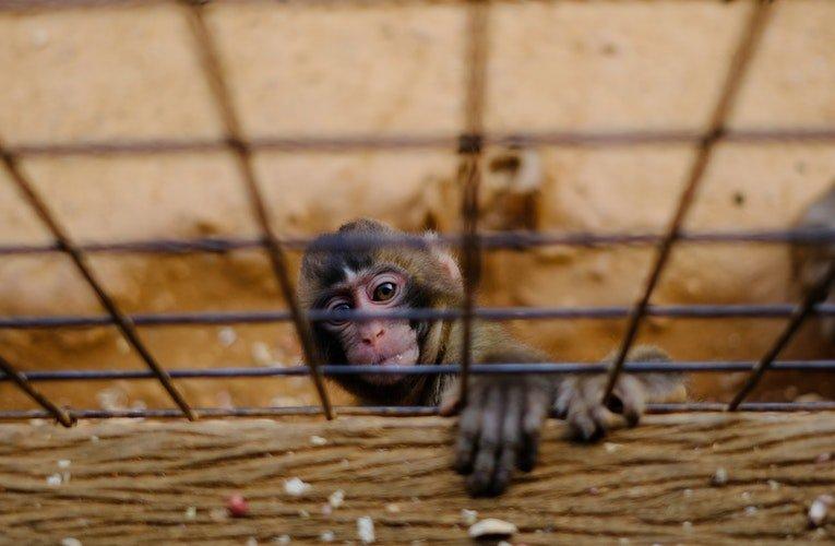 Un singe en cage   Photo : Pixabay