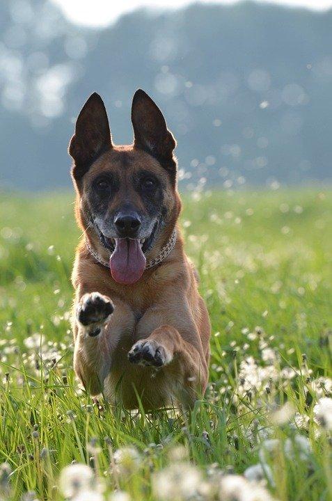 Un chien de berger belge. l Source: Pixabay