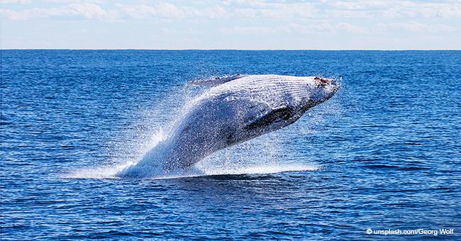 Encuentran una ballena embarazada con el estómago lleno de plástico en una playa