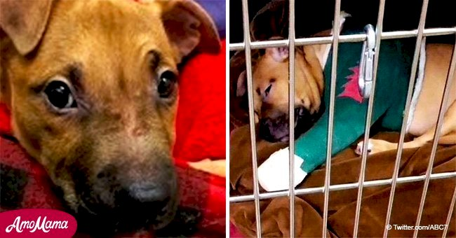 Puppy found with broken bones inside a backpack recovers after surgery