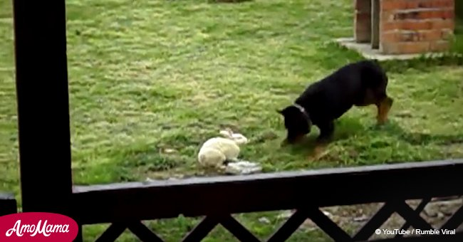 Rottweiler meets bunny rabbit into backyard and their unexpected bond goes viral (video)