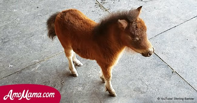 Have you ever seen a miniature baby horse? It's so adorable