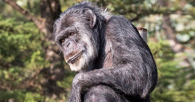 Oldest Male Chimpanzee in North American Zoos Dies in San Francisco at 63