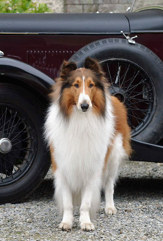 """Lassie attends the photocall for the """"Lassie"""" at Killruddery House 