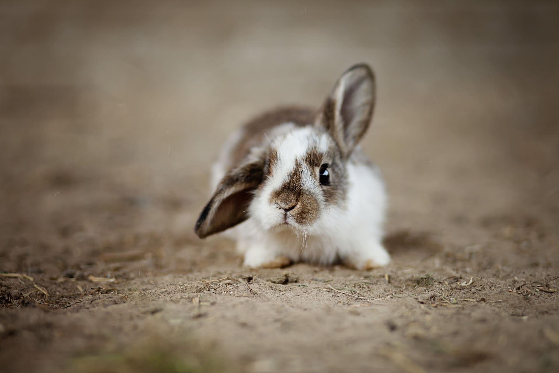 A small bunny stares at the camera  | Source: Pixabay