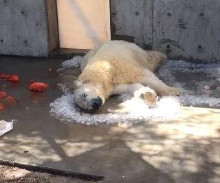 Nora rollt auf Eiswürfeln | Quelle: Facebook / Utah's Hogle Zoo