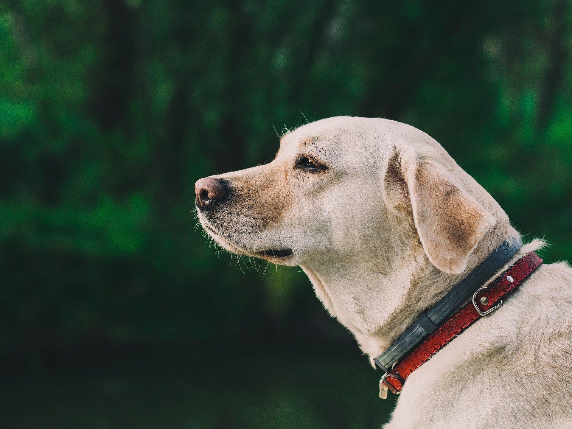 Labrador retriever mirando en la distancia. | Foto: Pixabay
