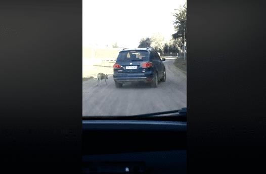 Le conducteur attache un chien à sa voiture et conduit pendant que l'animal fatigué essaie de suivre le rythme