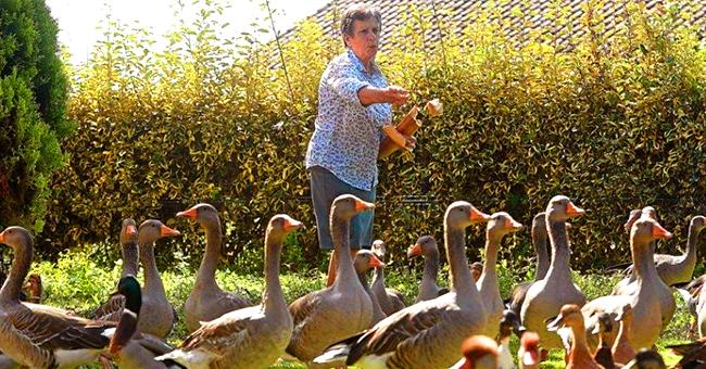 Landes : après le cas du coq Maurice, des canards et oies ont été accusés de faire trop de bruit