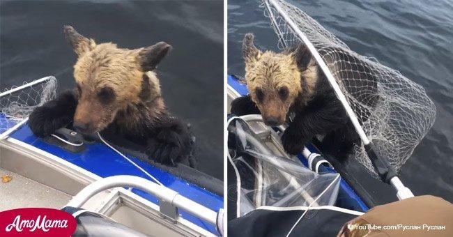 Moment dramatique: Oursons en noyade demandent l'aide des pêcheurs