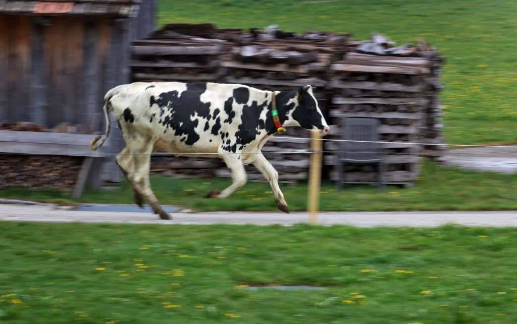 A cow gallops from its stable towards the pasture on May 01, 2021 | Photo: Getty Images