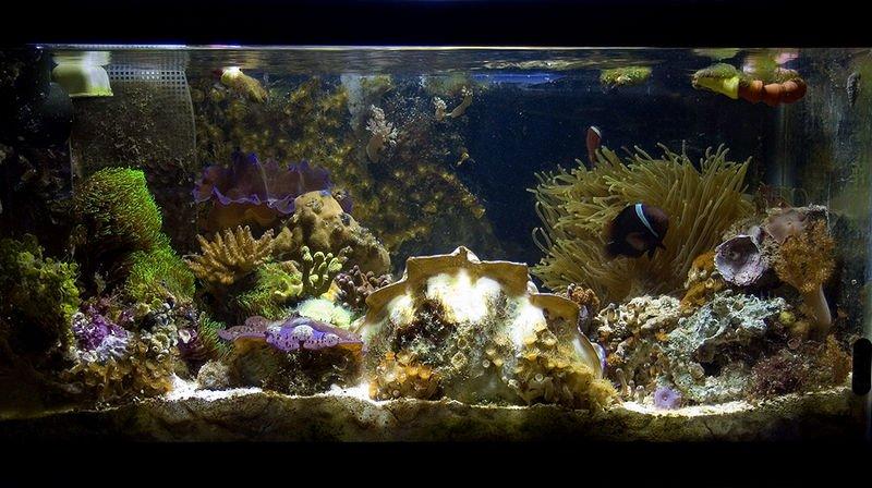 Pecera decorada con corales y algas. | Imagen: Wikipedia