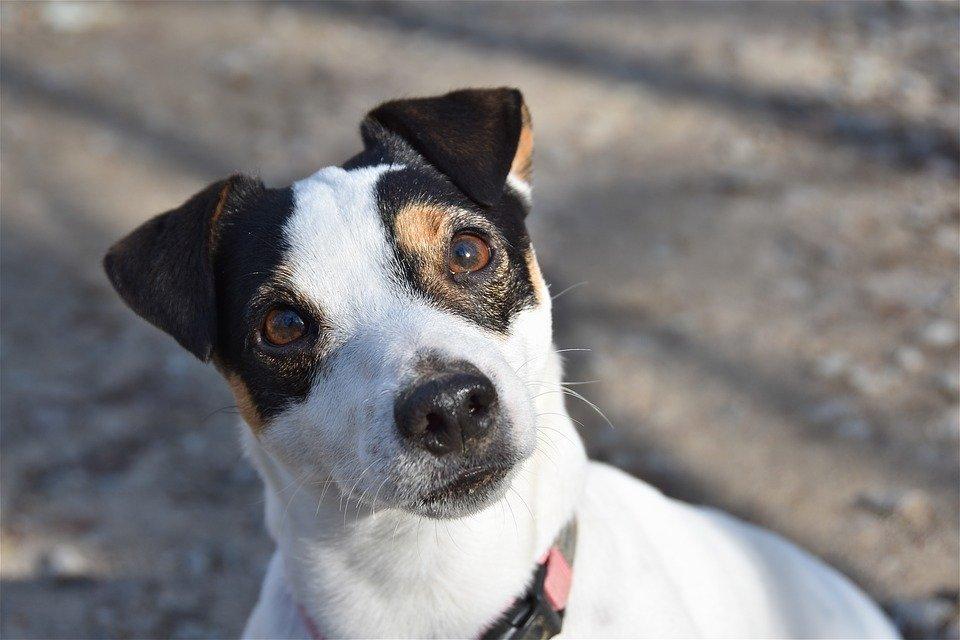 Perrito Jack Russel Terrier │Imagen tomada de: Pixabay