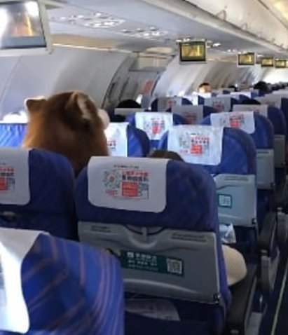 A large Alaskan Malamute dog sitting next to their owner for the duration of a China Southern Airlines flight. | Photo: YouTube/RT en Español