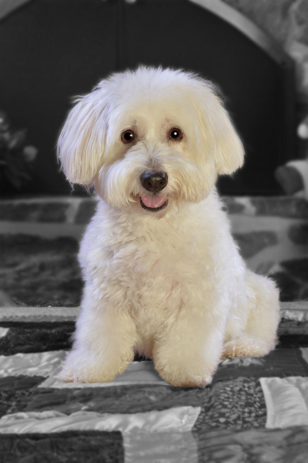 Perrito blanco de raza pequeña sentado sobre una colcha. | Imagen: Public Domain Pictures