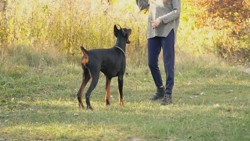 Dog breed Doberman on nature | Photo: Shutterstock