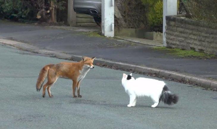 Un gato y un zorro se encuentran en la calle | Foto: YouTube/JR Staffs Richards