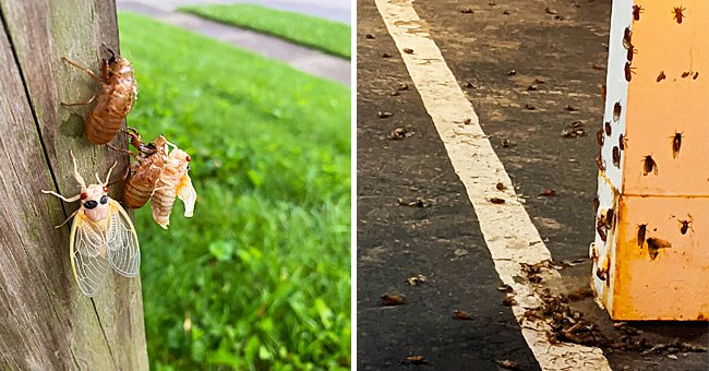 US Cicada Invasion Blows up Twitter as Users Share Photos and Tips