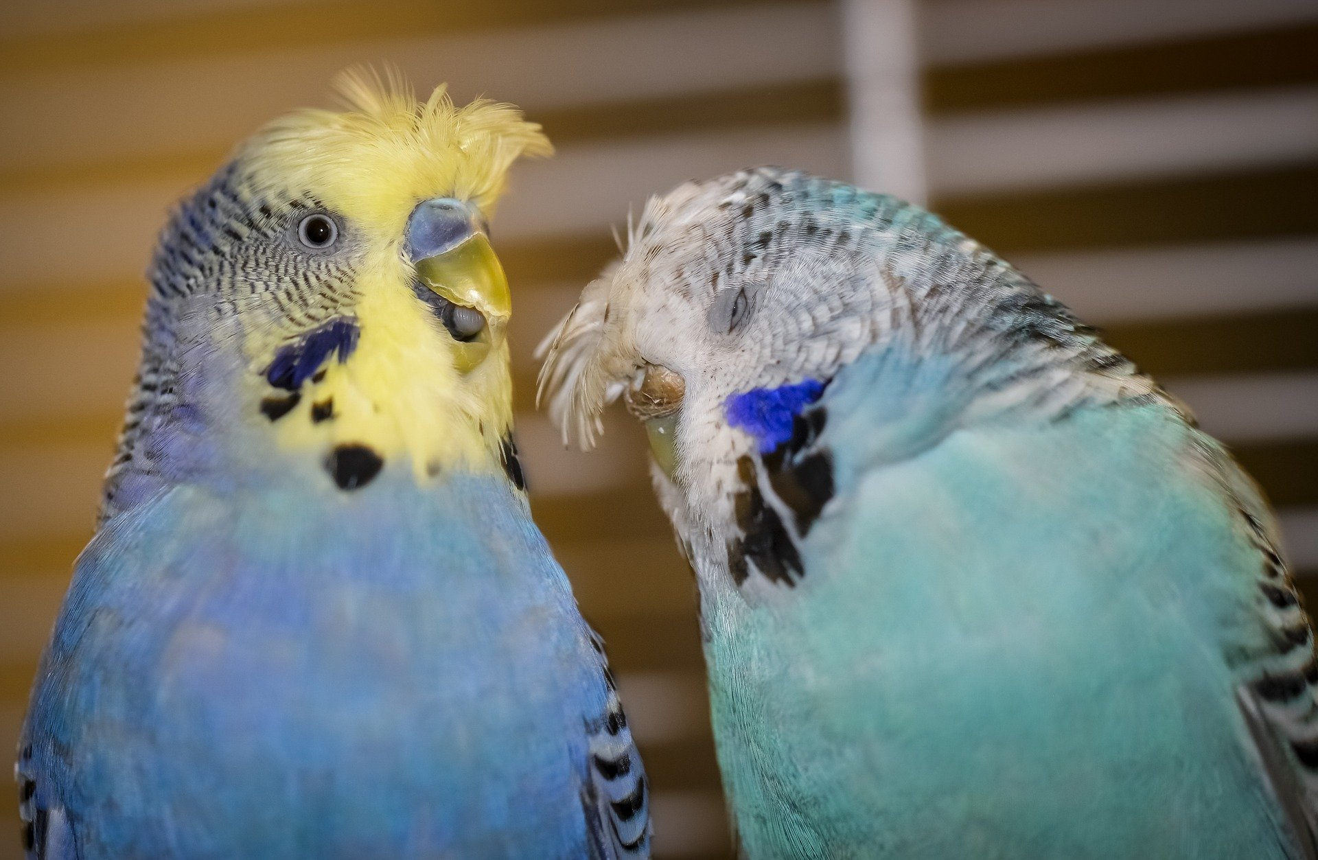 Two budgies animatedly talking. | Source: rose_anna/Pixabay