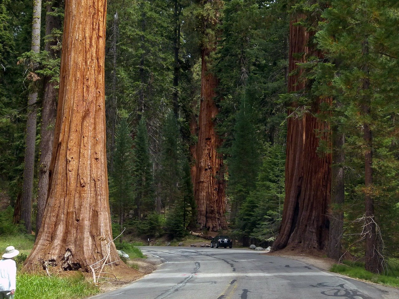 Sequoia Trees. Image credit: Pixabay