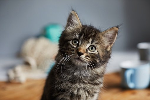 Cute tabby kitten sat on the breakfast table looking up   Photo: Getty Images