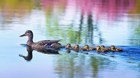 A Mallard Duckling family swim along smooth water | Photo: Getty Images