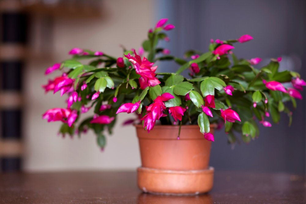 Christmas Cactus flower in a pot.   Photo: Shutterstock.