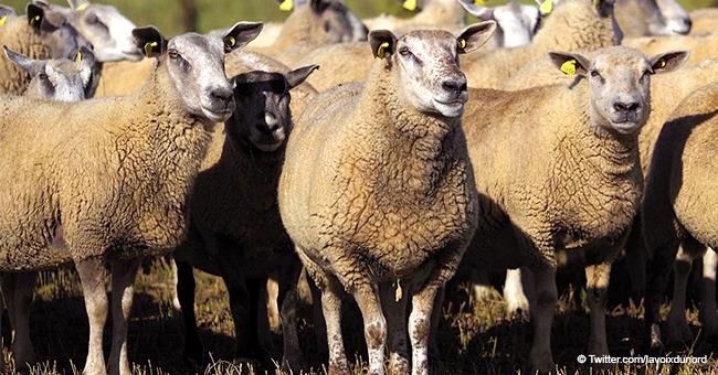 Pour éviter la fermeture d'une classe en Isère : 15 moutons inscrits à l'école