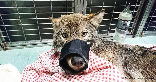 Hund, der von mutigen Arbeitern aus dem eisigen Fluss gerettet wurde, entpuppte sich als Wolf