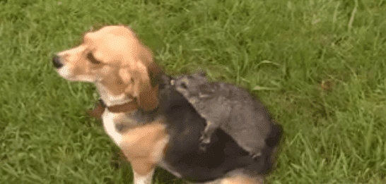 A possum riding on the back of a Beagle named Molly. | Source: 9News