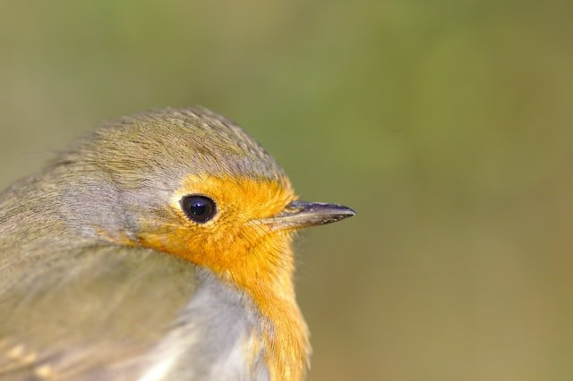 Picture of a Robin | Source: Unsplash