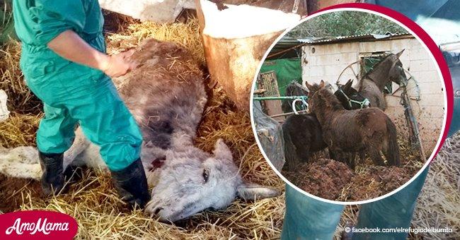 Rescatistas salvan 21 caballos y burros moribundos de deplorables condiciones