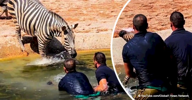 Men rush to save a drowning newborn zebra and the mother's reaction went viral