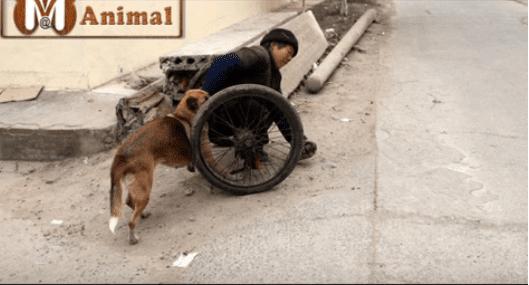 Leo prend sa tâche très au sérieux et surveille attentivement où il va.| Image : YouTube / Mural AnimalBlog
