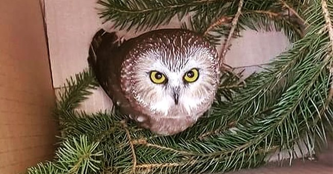 People Argue an Owl Rescued from Rockefeller Center Christmas Tree Was Abducted  — See Comments