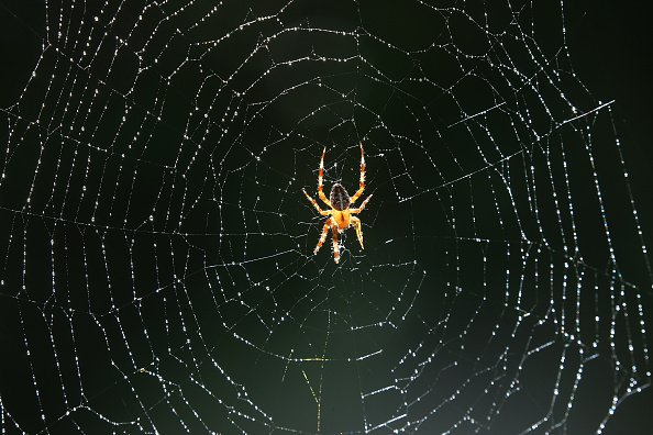 A cross spider sits in the middle of its web at temperatures of around 30 degrees Celsius. Water drops from a nearby irrigation system have formed on its wafer-thin threads. Photo: Wolfgang Kumm/dpa (Photo by Wolfgang Kumm/picture alliance via Getty Images)