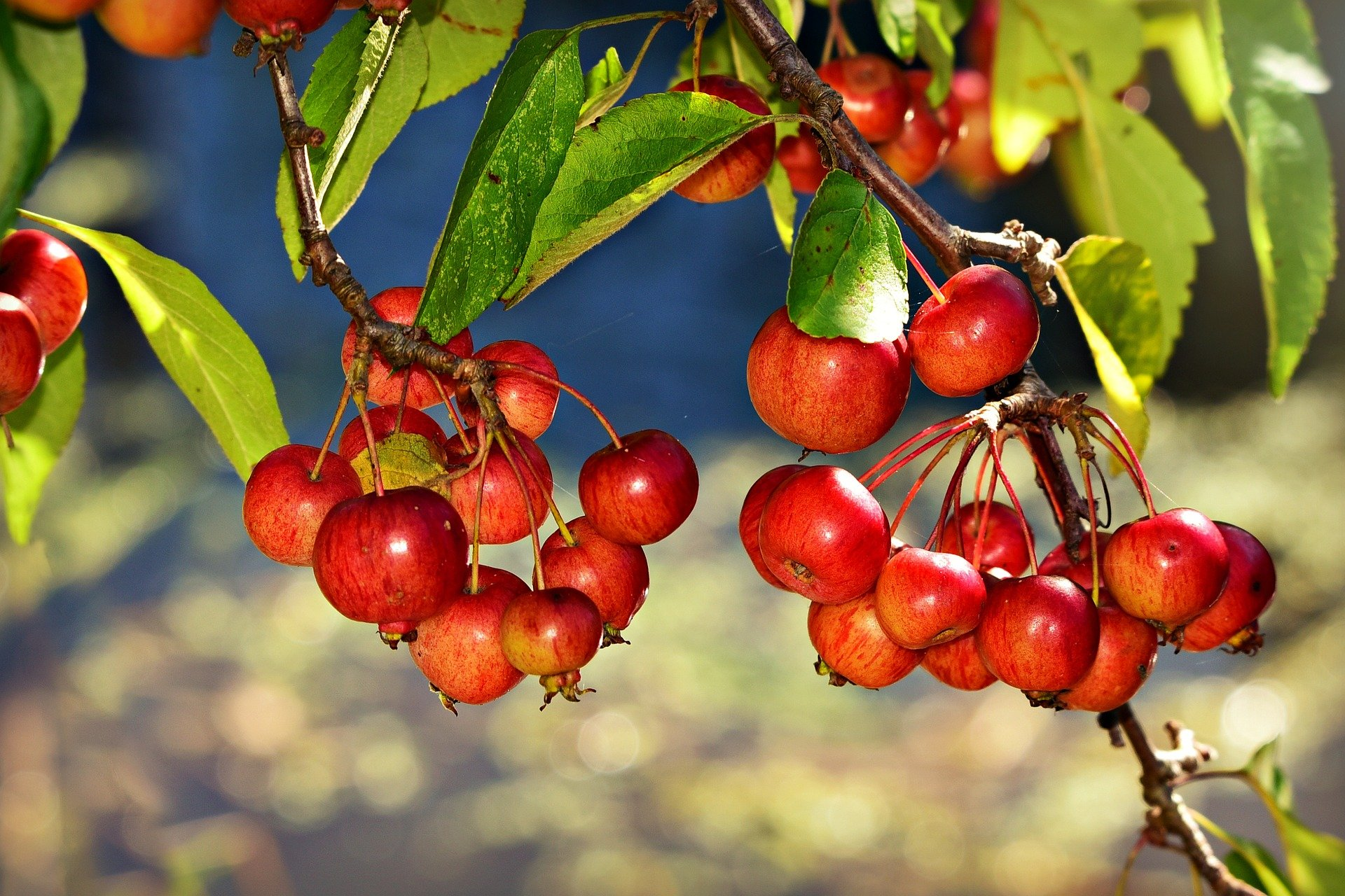 A picture of a red chokeberry. | Photo: Pixabay