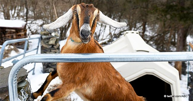 Goat Elected 'Mayor' in Vermont