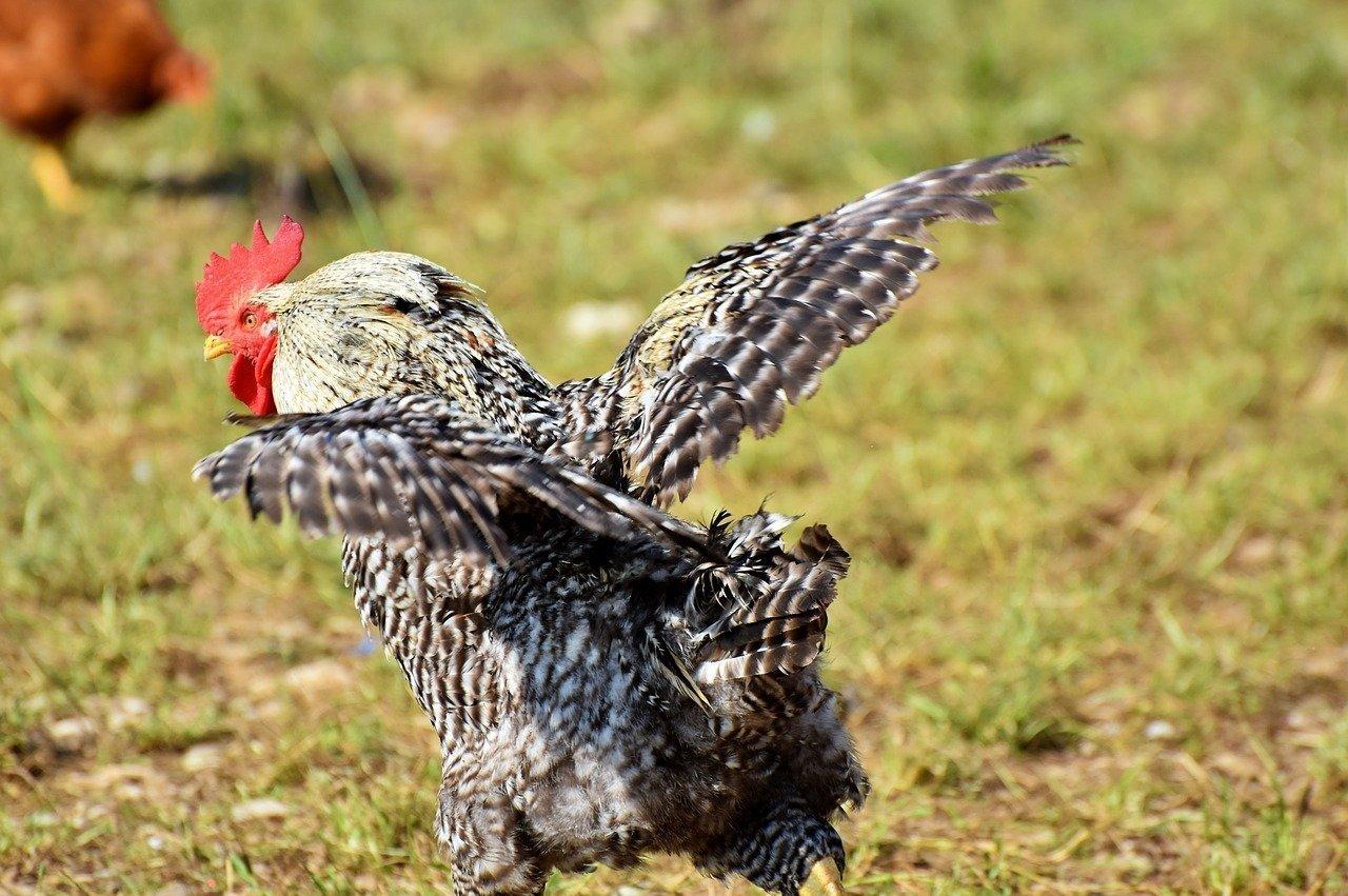 Hahn mit ausgebreiteten Flügeln - Quelle: Pixabay