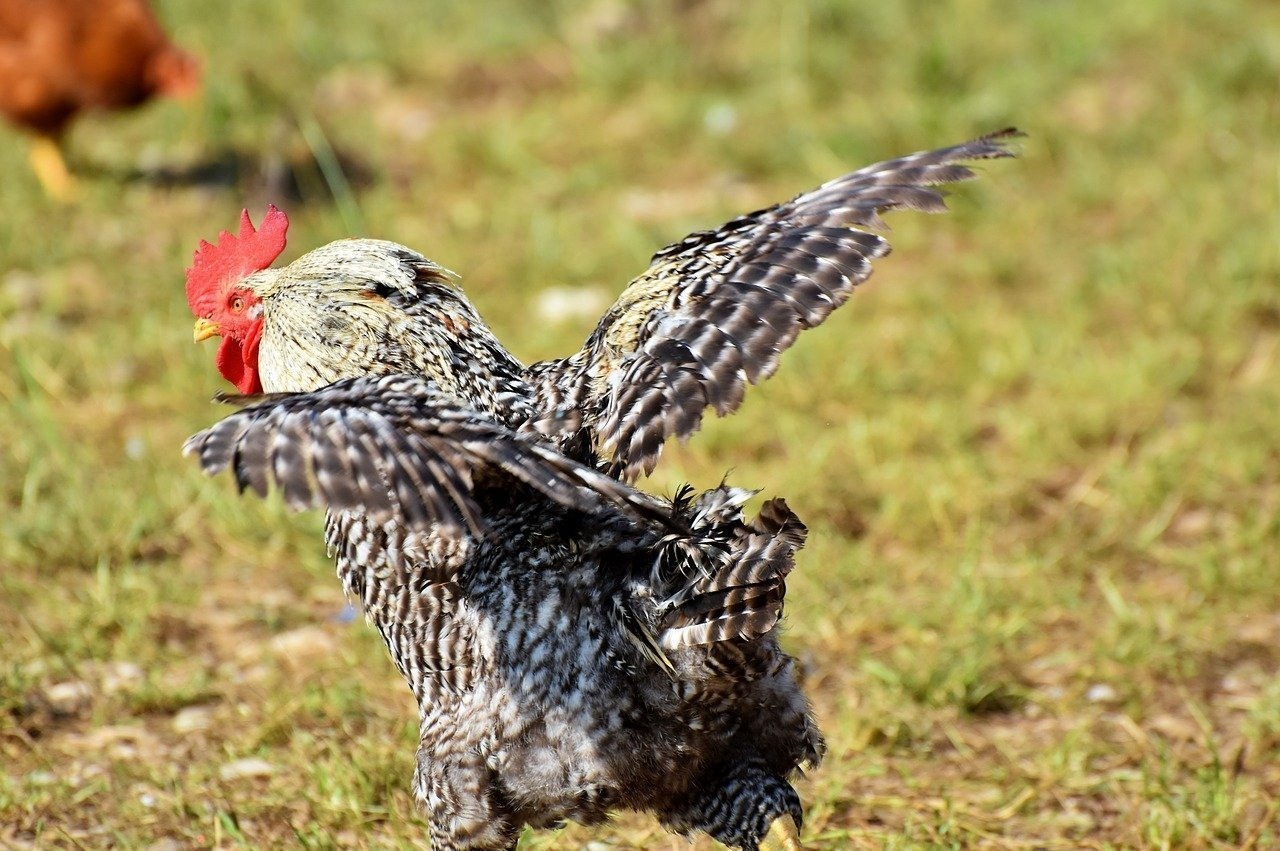 A rooster on a mission   Source: Pixabay