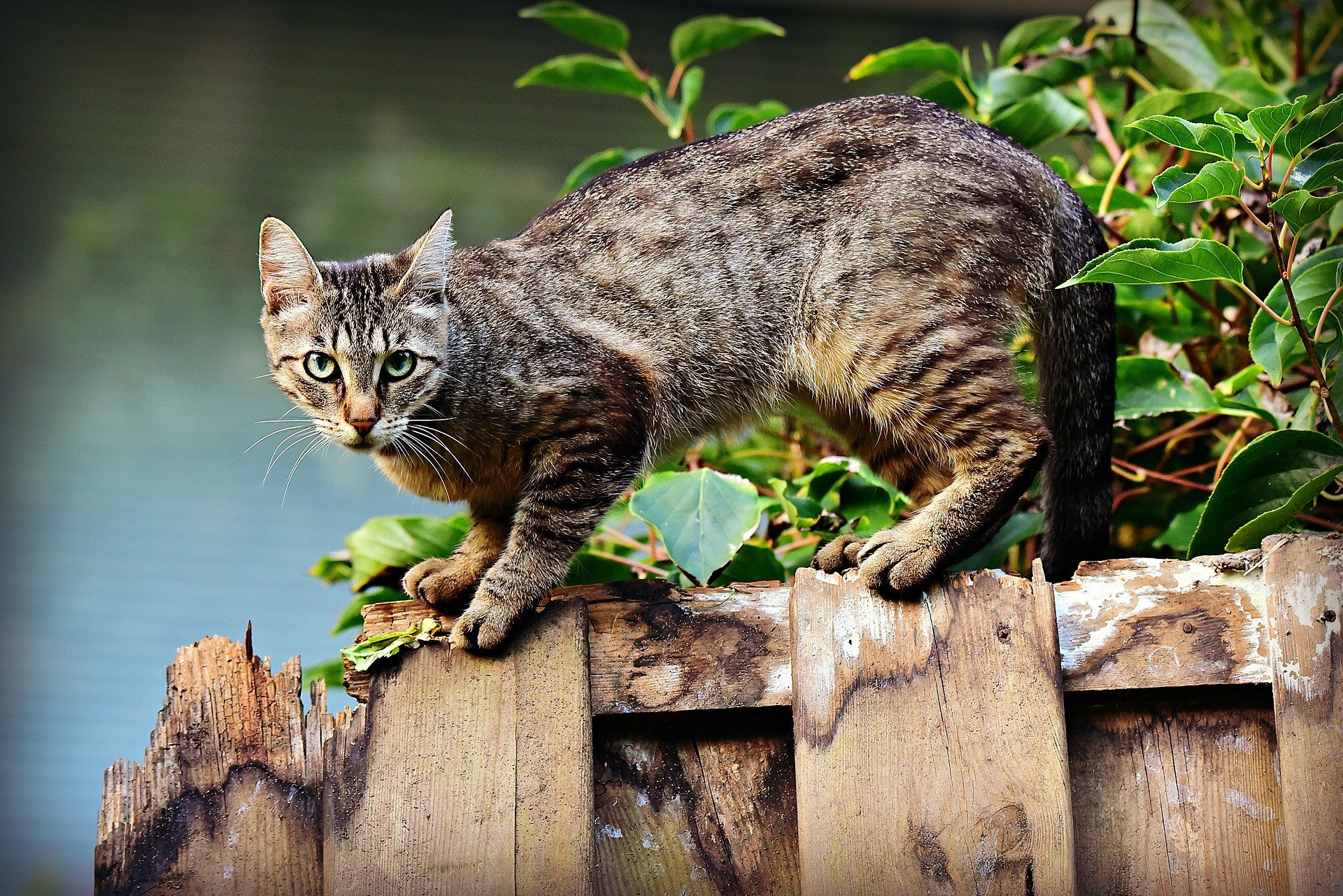 Cat crouching on a wooden fence staring at the camera | Photo: Pixabay/Mabel Amber