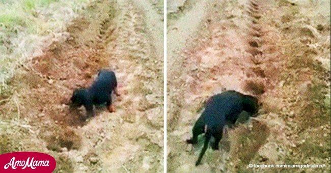 Adorable video revela a perro ayudando a su dueño con las tareas del campo y derrite a la Internet
