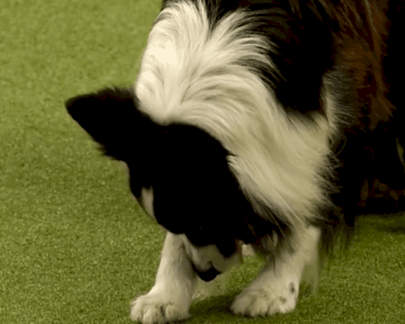 Fuente: YouTube/Crufts