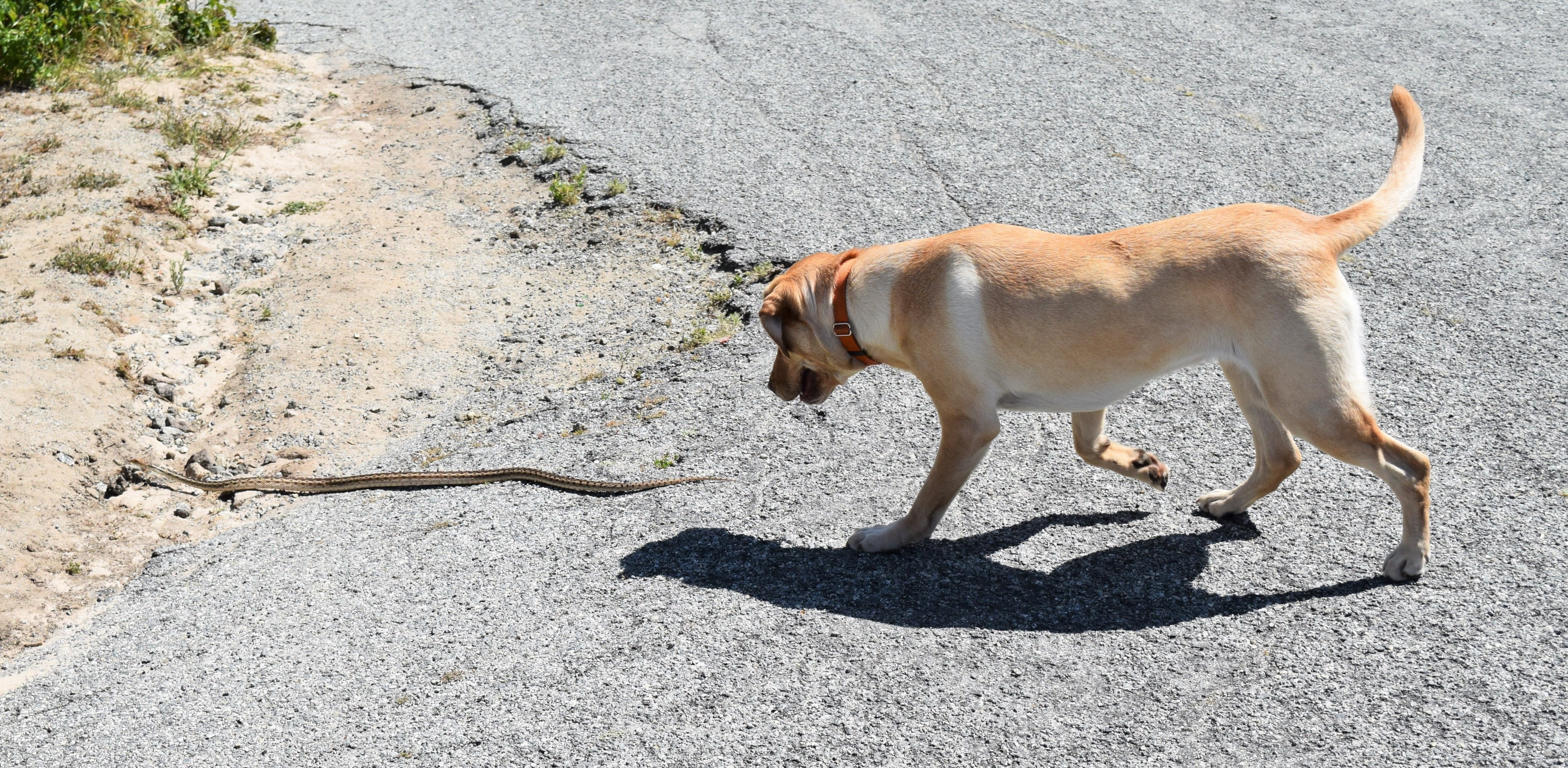 A labrador dog chases a gopher snake in the hills of Monterey,  California. | Source: Shutterstock